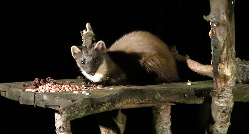 Pine marten at the Speyside wildlife hide near Aviemore