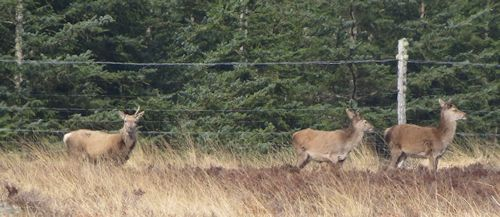 Red deer near Forsinard in Sutherland