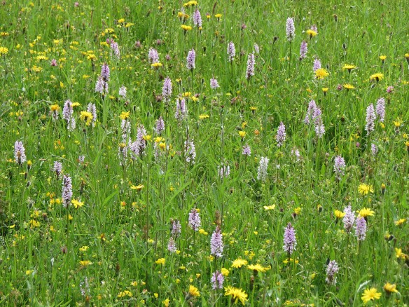 A clump of over 50 common spotted orchids: some patches were even denser