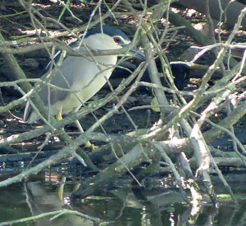 Night-heron, skulking and alert