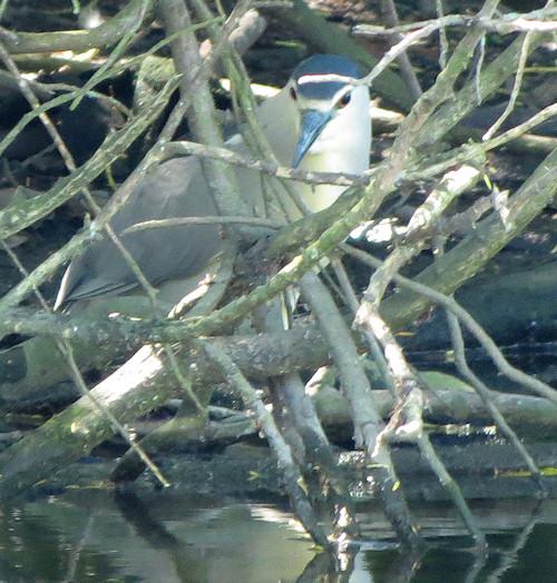 Night-heron, peering