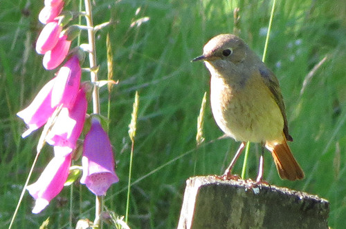 Female redstart at Gilfach Farm