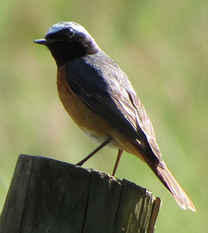 """You did want me to pose for the camera, didn't you?"" - redstart at Gilfach Farm"