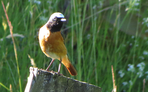 Redstart at Gilfach Farm