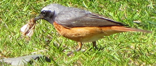 Redstart having subdued an obstinate moth
