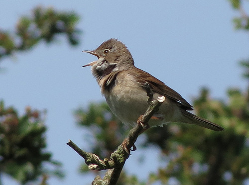 Whitethroat at Cliffe Pools