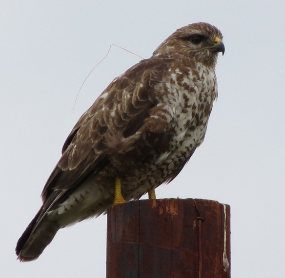 Buzzard at Knighwick