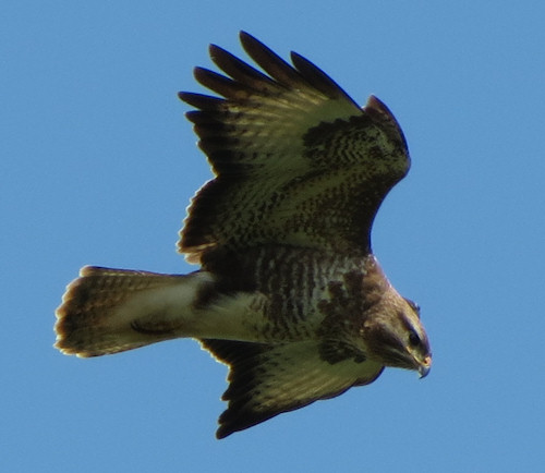 This buzzard hung in the air long enough for me secure some good photos.