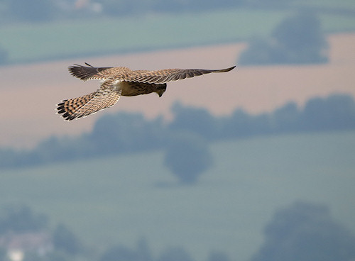 Hanging in the air: kestrel in the Malverns