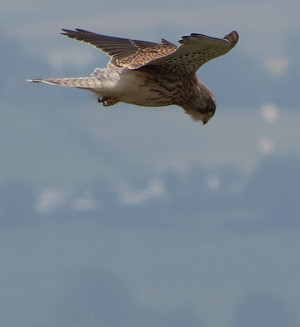 Kestrel hovering in the Malverns
