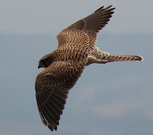 As well as hovering, the kestrels frequently dashed from one hovering point to another