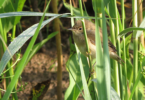 Reed warbler from the bird hide at Llangorse Lake
