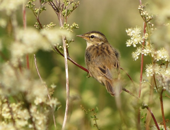 Sedge warbler (juvenile) at Llangorse lake