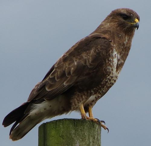 Buzzard at Monkwood Green near Wichenford