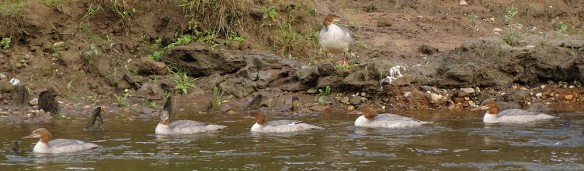 The six goosanders: the five swimming had been preening while the sixth, which was about to join them, rested up. Click to enlarge.