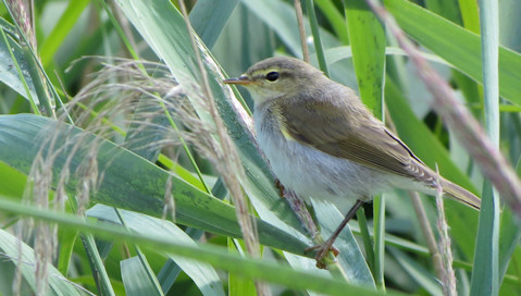 As if to prove the point about the abundant wildlife along the old railway track, this reed warbler was very showy.