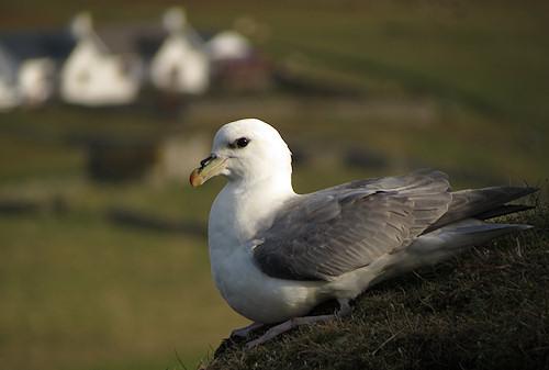Fulmar on Fair Isle
