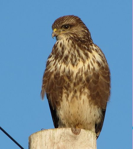 Buzzard near Ankerdine Road