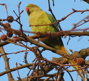Ring-necked parakeet in the grounds of Hampton Court Palace.