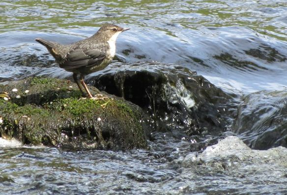 Dipper on the Afon Marteg, flowing through the Gilfach Farm reserve.