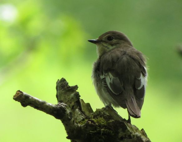 Pied flycatcher female at Gilfach Farm.