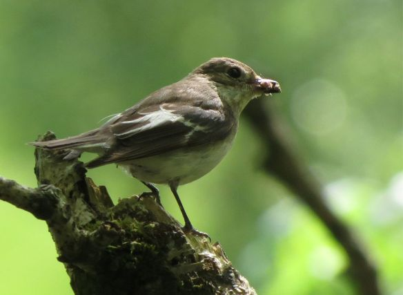 Pied flycatcher with a beakful of insects