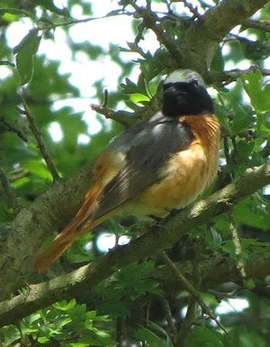 Redstart at the Gilfach Farm reserve