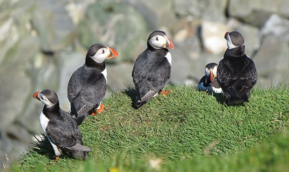 Puffins at Hermaness - as cute here as anywhere else!