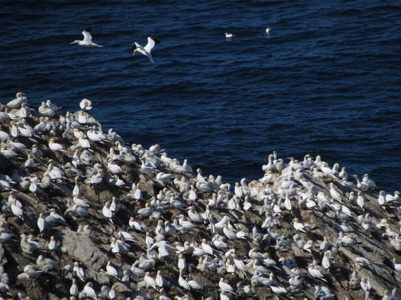 A small part of one of the gannet colonies on the Hermaness coast.