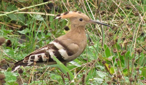 Although the hoopoe spent much of the time skulking in the long grass, it did occasionally appear in more open surroundings.