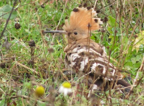 ...like this - the hoopoe briefly displaying its crestin all its glory!