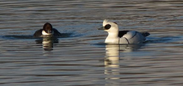 """We need to talk"", said Mrs Smew, as Mr Smew sailed serenely past."