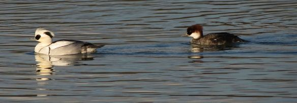 Smews (male and female) at Rutland Water Lagoon IV.