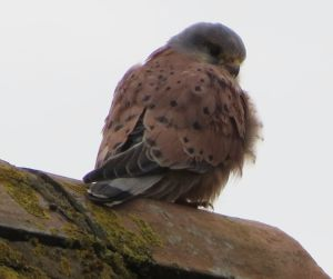 Wary - if I had choose one wor to describe the Wichenford kestrel