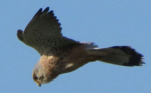 The Wichenford kestrel hovering...