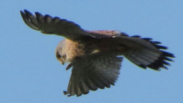 I only saw the kestrel hover once in a sustained way.