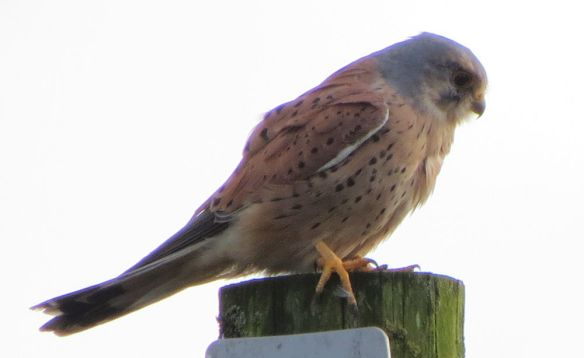 For about half a minute, I caught the kestrel unawares...