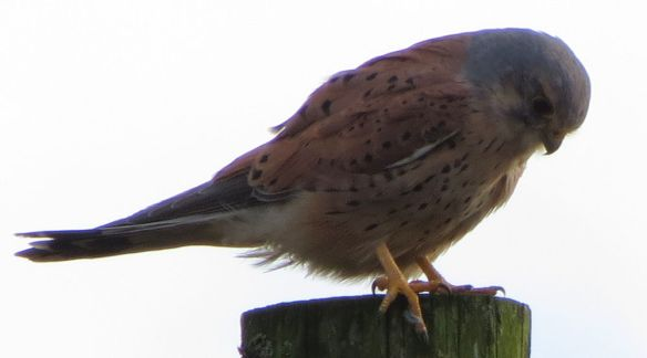 The kestrel was very focussed on potential prey below that it almost ignored the arrival of the grey car...