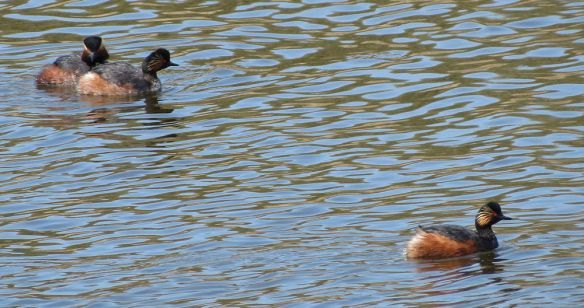 Black-necked grebes are highly social.