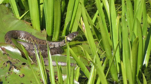 Look who slithered into the Open Gardens... a grass snake in Catcott