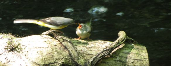Grey wagtail feeding a juvenile at Golitha Falls