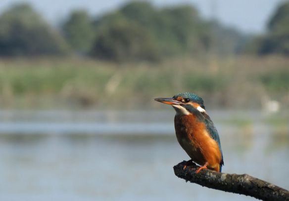 Kingfisher at the Canada Lake hide