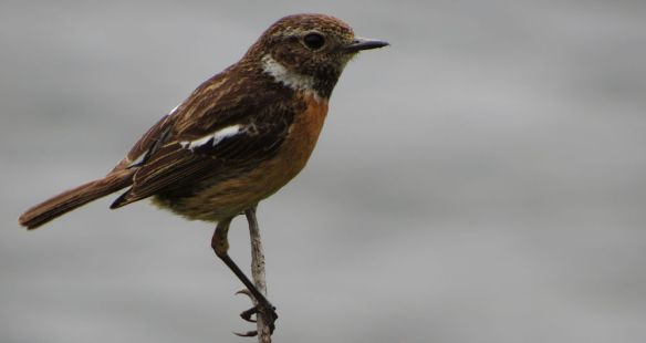 Two snaps and it was off - but this juvenile stonechat was very showy while it was there!