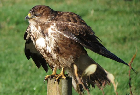 A bedraggled buzzard near Westhay, hanging its wings out slightly