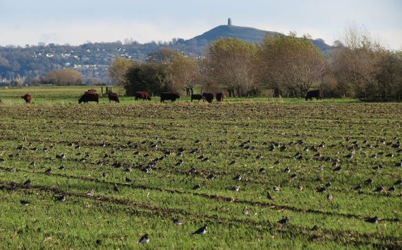 Lawpings near Westhay
