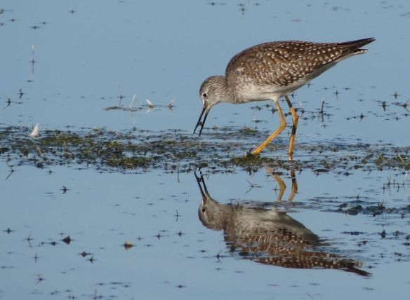 Lesser Yellowlegs, feeding at Cheddar Reservoir