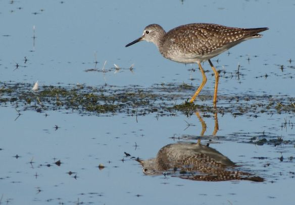Lesser Yellowlegs at Cheddar Reservoir