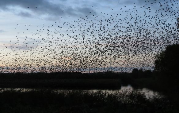 The starlings emerge over the reedbed at Ham Wall