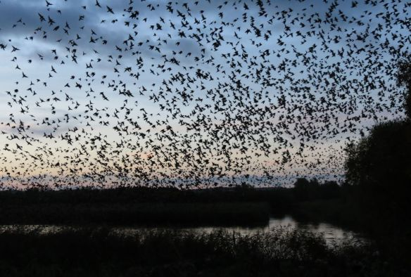 A dense cloud of starlings