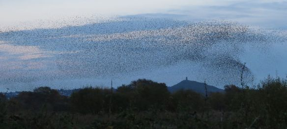 Starling  murmuration at Ham Wall last Sunday.